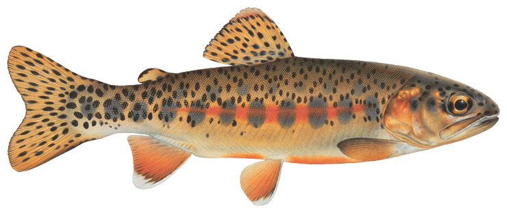 The Little Kern Golden Trout